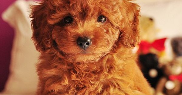 Goldendoodles look like they descend from teddybears! Teddy bear crossed with Shih