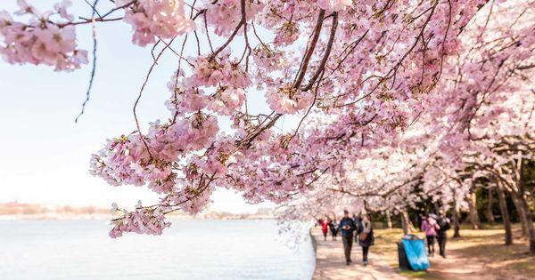 Here S When The Cherry Blossoms Will Reach Peak Bloom In Washington D C Cherry Blossom Season Cherry Blossom Around The World In 80 Days