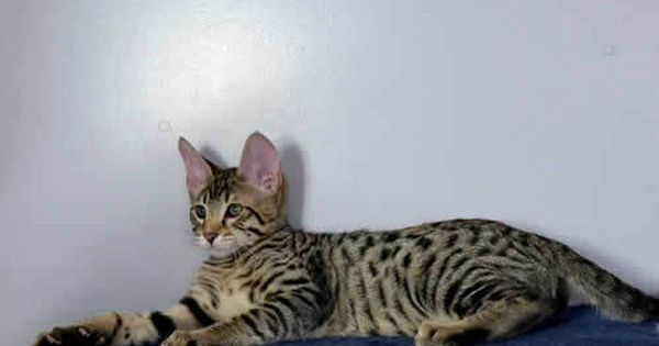 Amanukatz Savannah Kittens For Sale Savannah Kitten Savannah Kittens For Sale Savannah Cat
