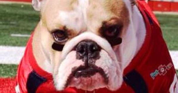 The Fresno State Mascot Bulldog Real Dog Fresno State