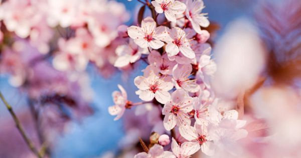 50 Lovely Cherry Blossom Wallpapers To Brighten Your Desktop Naldz Graphics Cherry Blossom Wallpaper Japanese Cherry Blossom Sakura Cherry Blossom