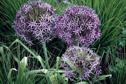 Alliums Image Rhs Vegetable Garden Planning Perennial Garden