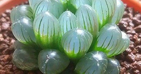 80 Haworthia Cooperi Seeds Unique Crystal Rare Exotic