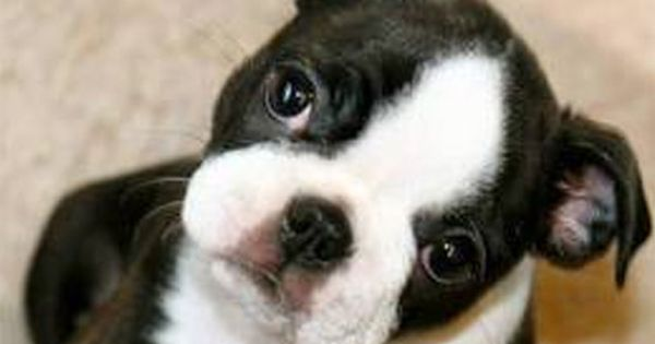 Boston Terriers Puppies For Sale In Westchester New York Boston