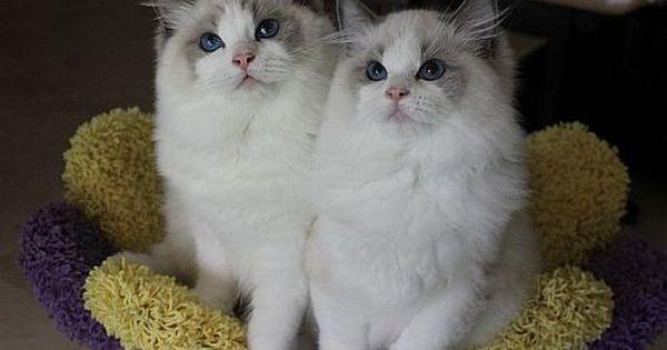Ragdoll Cats Ragdoll Kittens By Rock Creek Ranch Ragdoll Cattery