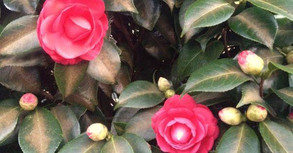 Camellia Ten Random Facts Small Trees Flowers Camellia