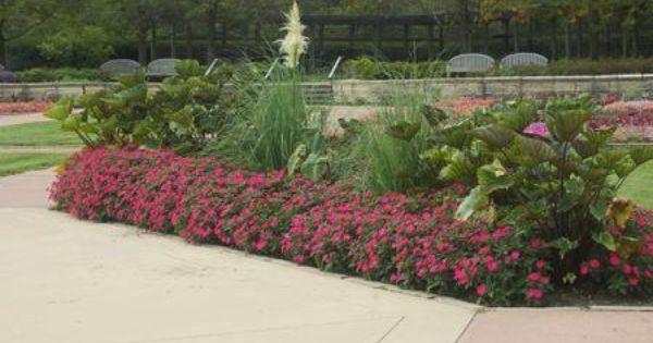 Impatiens X Hybrida Hort Sunpatiens Vigorous Landscape Vigorous Plants