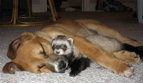 Ferret And Dog Cuddling And Sleeping Cute Unusual Animal