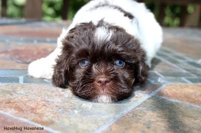 Cutest Havanese Puppy With Blue Eyes 3 Chocolate Havanese 3 Www