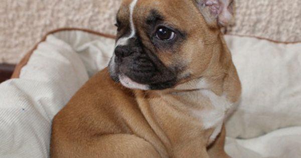 Red Fawn French Bulldog Puppy Fawn French Bulldog Bulldog