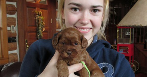 Australian Labradoodle Puppies For Sale In Wisconsin Friends Of