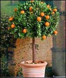 El Naranjo Enano Fruit Trees In Containers Growing Plants Planting Herbs