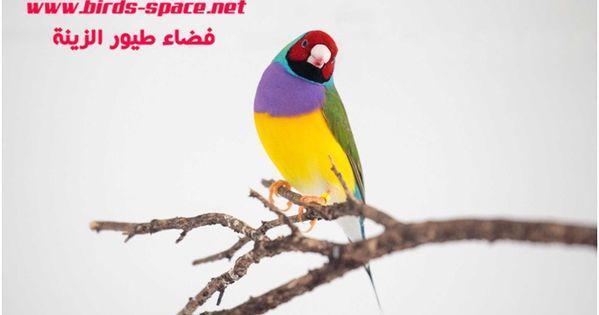 يعتبر الجولديان فينش Gouldian Finches أول طائر تم اكتشاف وجود الطفيلي به و هو أكثر الطيور الحساسة للمرض لكن ســجلت حالات إصابة عند الكناري الحسو Parrot Bird