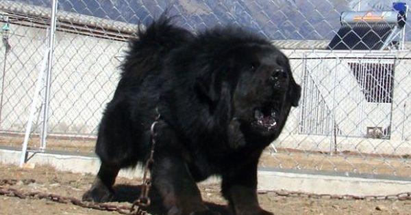MONGOLIAN FOUR-EYED DOG/MONGOLIAN MASTIFF | to cute ...