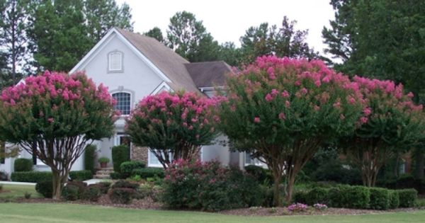 crape myrtle landscaping ideas - Google Search | Outdoors ...