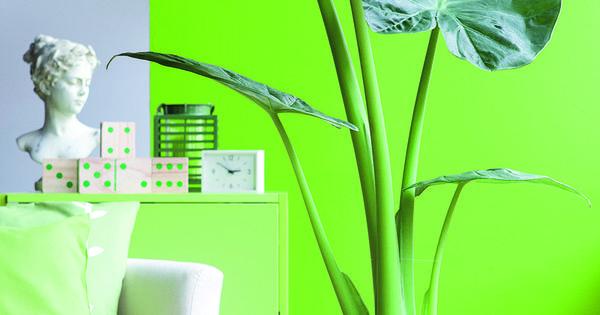D pliant vous aimez les plantes vertes l 39 alocasia for Alocasia d interieur