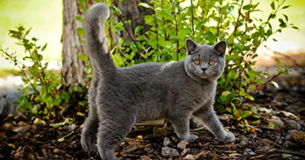 Moscow Cats And Kittens British Shorthair Cats Cats