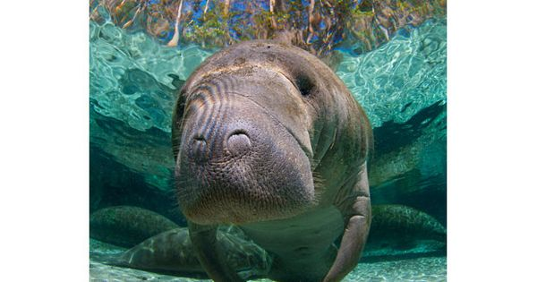 Florida's friendly manatees photographed by Alexander Mustard - Telegraph