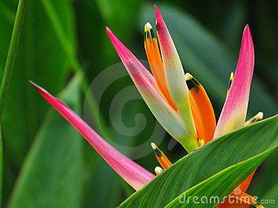 Heliconia Flower Bird Paradise Heliconia Flower Birds Of Paradise Flower Heliconia Plant