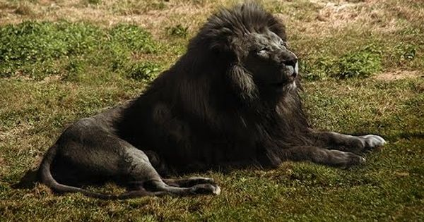 World Top 10 Most Rare Animals Ten 01 Description From Wn Com I Searched For This On Bing Com Images Rare Animals Animals Black Lion