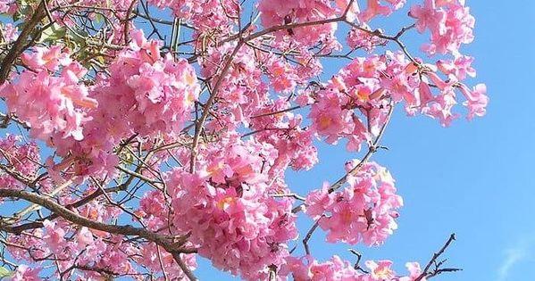 Cherry Blossom Row Null Cherry Blossom Tree Blossom Blossom Trees