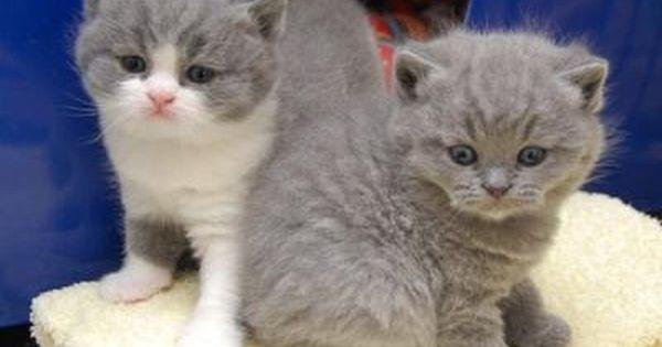 Singapore Adorable British Short Hair Kittens For Adoption