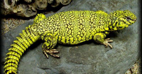 Deer Fern Farms Uromastyx Species Page Best Reptile Pets Ever Uromastyx Reptiles Reptiles Pet