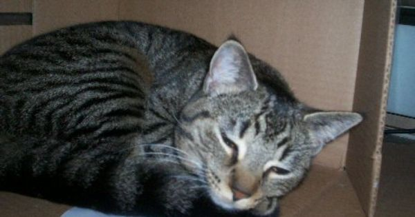 Black Tiger Stripe Tabby Gray Cat With Black Stripes Grey