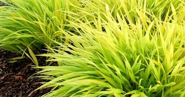 Japanese forest grass 39 all gold 39 hakonechloa macra 12 for Tall oriental grass