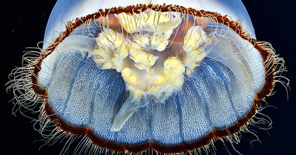asylum-art: The Alien Beauty Of Jellyfish In Alexander Semenov 's New Photos