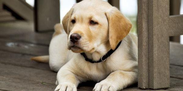 تفسير رؤية الكلاب في المنام لابن سيرين Labrador Retriever Animals Labrador
