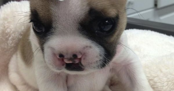 Lentil, the bulldog puppy with a cleft palette. | The 40 Most