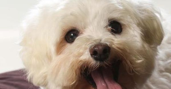 Meet Glenda A 10 Years Maltese Available For Adoption In Colorado Springs Co Dog Adoption Rescue Dogs Dogs