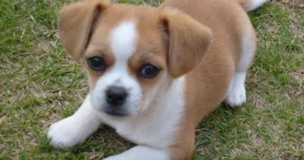 Beagle Shih Tzu Mix Google Search Chihuahua Mix Puppies