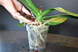 Repotting Orchids Orchid Care Just Add Ice Orchids Repotting Orchids Orchid Care Orchids