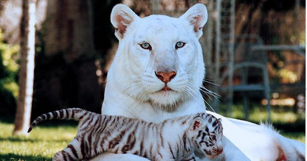 beautiful white tiger and her cub