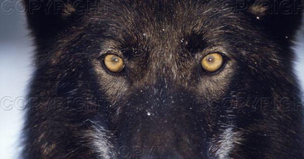 Regard Du Loup Noir Yeux De Loup Loup Noir Chien Sauvage Africain