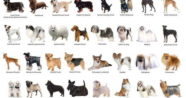 List Of Cutest Small Dog Breeds
