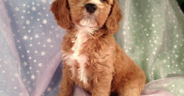 Apricot Cockapoo Cockapoo Dog Cockapoo Cockapoo Puppies For Sale