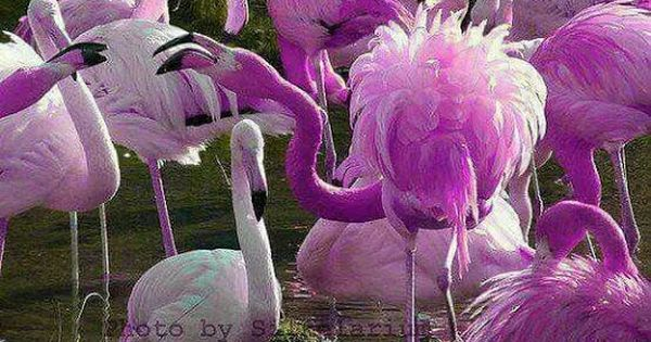 Real Purple Flamingos | www.imgkid.com - The Image Kid Has It!