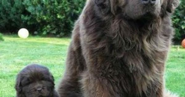 The Cutest Newfoundland Pictures 150 Pounds Huge Dog