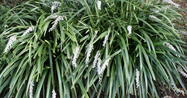 Giant striped mondo grass for sale buy ophiopogon jaburan for Tall ornamental grasses for shade