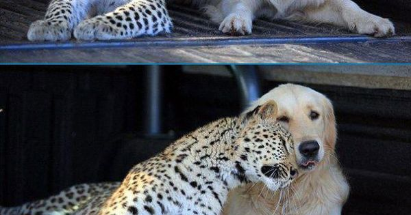 Best friends. Golden retriever and leopard.