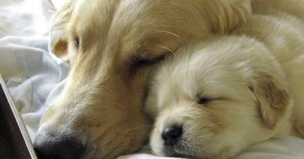 Nap Time Puppies Pets Cute Animals