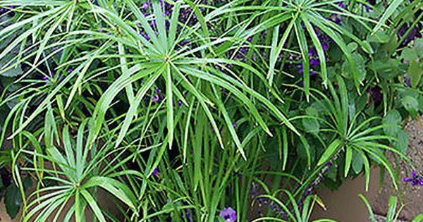 Top 7 Outdoor Aquatic Plants Plants Aquatic Plants Shadow Plants
