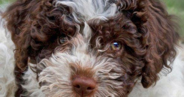 Discover Virginia Lagotto Romagnolo Puppy Pictures Puppies