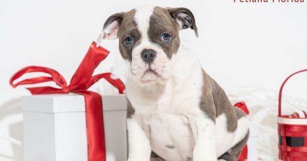 Petland Florida Has Victorian Bulldog Puppies For Sale Check Out All Our Available Puppies Victorianbulldog Pet Bulldog Puppies For Sale Victorian Bulldog