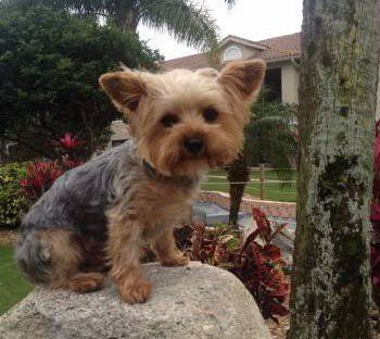 Image Result For Full Grown Yorkie Yorkshire Terrier Yorkshire