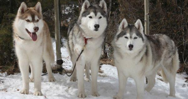 The Different Types Of Siberian Huskies Dogs Husky Puppy Husky