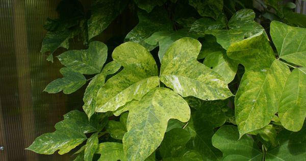 Pueraria Atlanta Burning Variegated Kudzu Variegated Plants Plant Leaves Foliage Plants